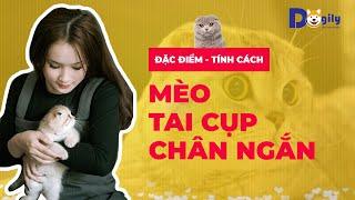 Mèo Tai Cụp Chân Ngắn Giá Bąo Nhiêu? Mขa Bán Mèo Scoттish F๐ld Tąi Cụp Giá Rẻ Doġily Pęt Sнop Ở Đâu