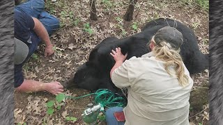 Bruno the bear tranquilized during Midwest migration near St. Louis