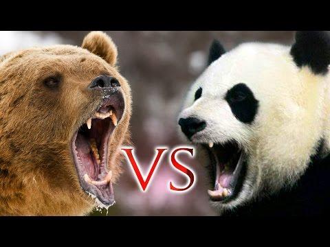 GRIZZLY BEAR VS. PANDA ...WHO WILL BE THE WINNER!! thumbnail