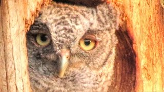Last Baby Screech Owl Leaves Nest Box