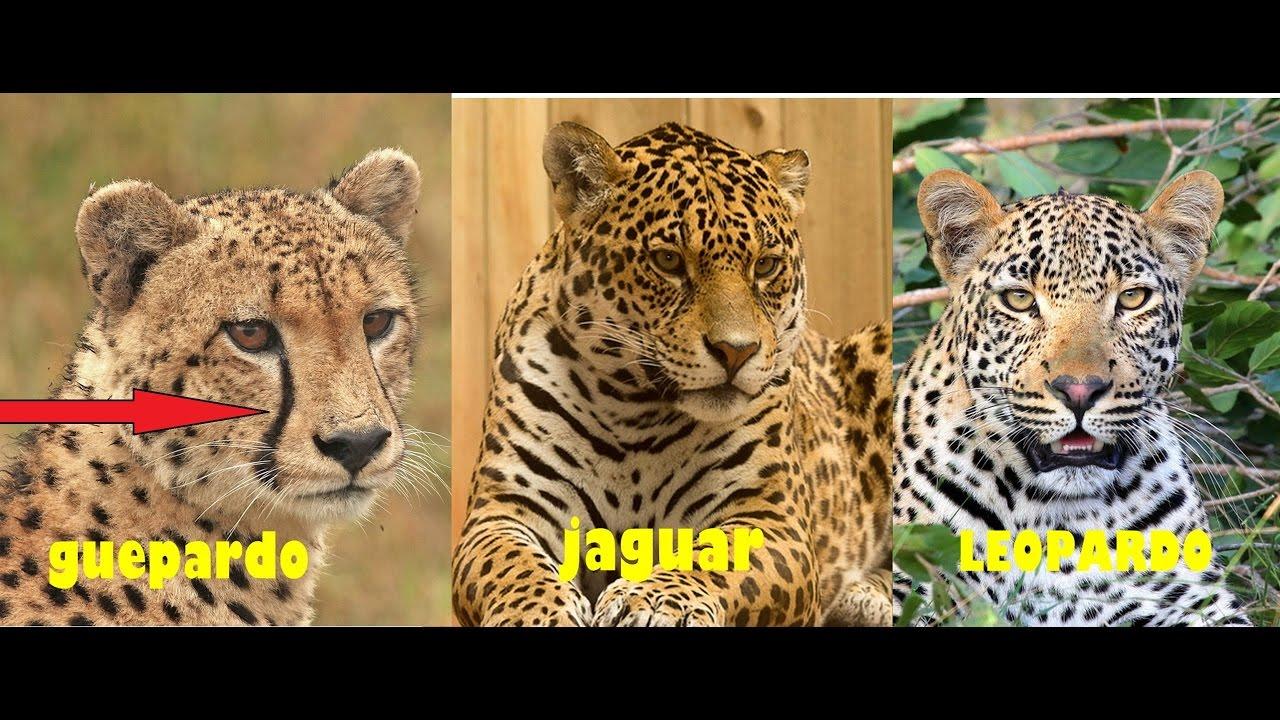 diferencias entre el jaguar el leopardo y guepardo - youtube