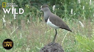 Safari Live - Day 307 | Nat Geo Wild