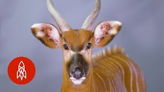 There Are Only 100 of these Antelopes Left in the Wild