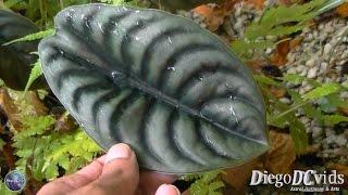 Alocasia cuprea - Pulmão-de-aço (Colocasieae) Alocásia