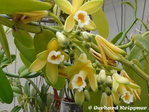 Орхидея Ваниль  в активном росте !!!