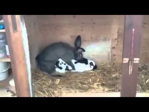 Coniglio tanti coniglietti