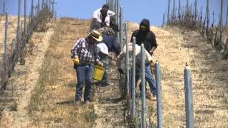 vineyard grafting 101