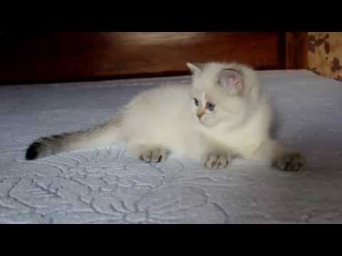 British Shorthair Kitten Color Point.