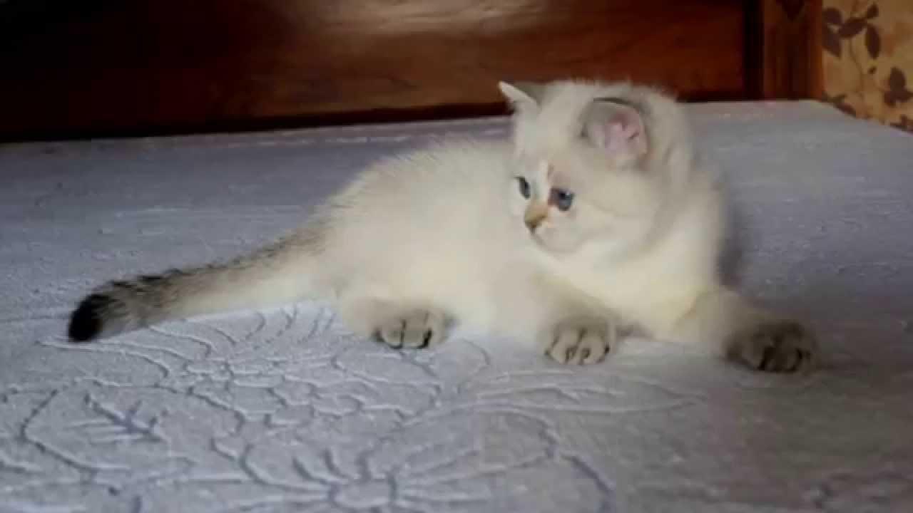 British Shorthair Kitten Color Point