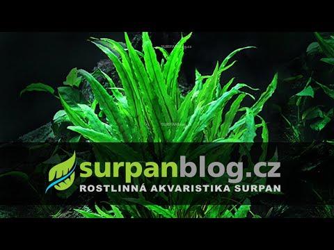 Cryptocoryne wendtii green - Kryptokoryna Wendtova zelená - Akvarijní rostliny