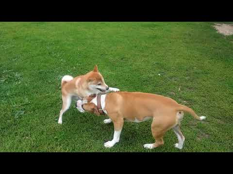 Kaito the Shiba Inu is Playing with an Amstaff Pitbull Mix. Part 1
