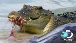 Акулы против крокодилов | Неделя акул | Discovery Channel