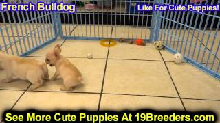 French Bulldog, Puppies, For, Sale, In, Baltimore, Maryland, Md, Fort Washington, South Laurel, Reis