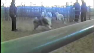 Mac Herding Sheep