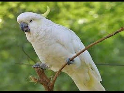 Burung KAKATUA Bernyanyi 'Garuda Pancasila