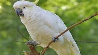 vuclip Burung KAKATUA Bernyanyi 'Garuda Pancasila