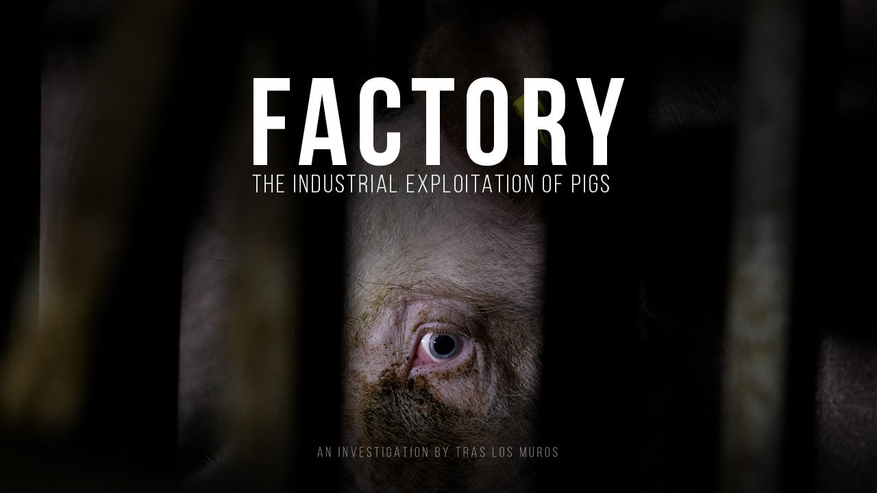 Factory. The industrial exploitation of pigs. / Animal abuse.