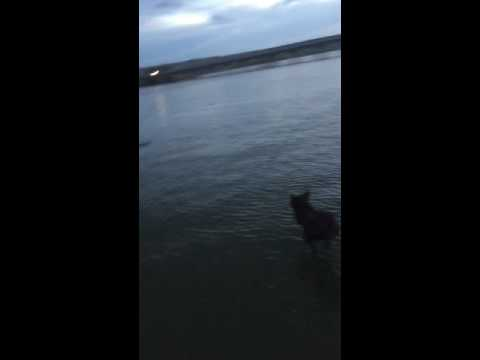 Feather shredding dog Bailey jumping