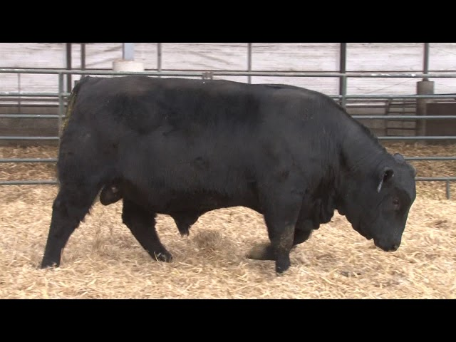 Schiefelbein Angus Farms Lot 369