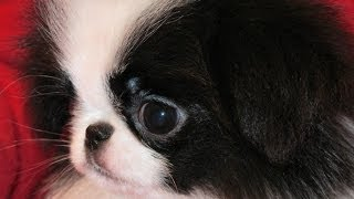 Japanese Chin, Puppies, For, Sale, In, Southaven, Mississippi, County, Ms, Meridian, Biloxi, Hatties