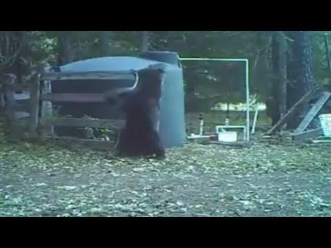 bear hits his own balls. loll