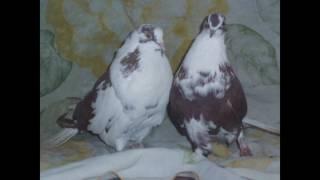 Красивые николаевские голуби фото 3...