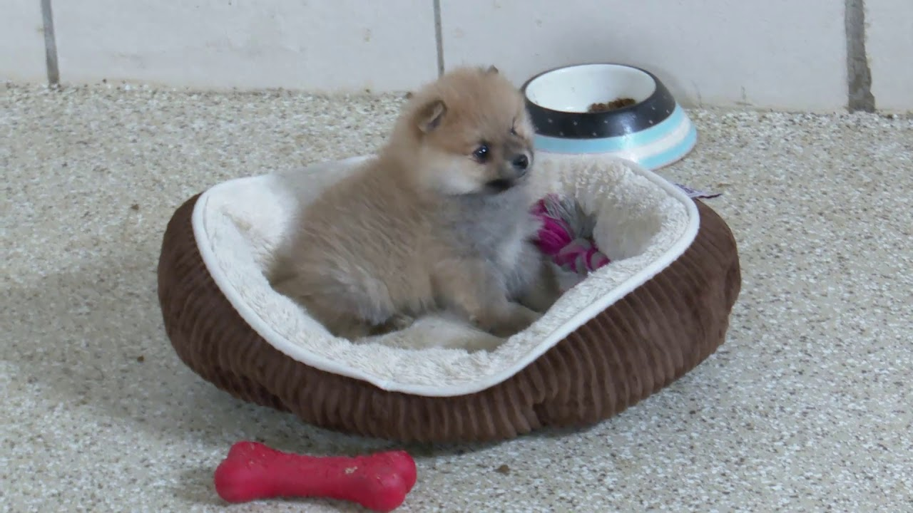 Amy Miller's Pomeranian Puppies