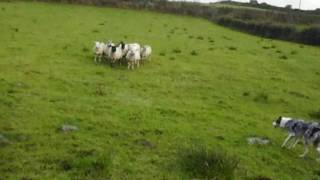 Blue Merle Border Collie sheepdog training Donegal