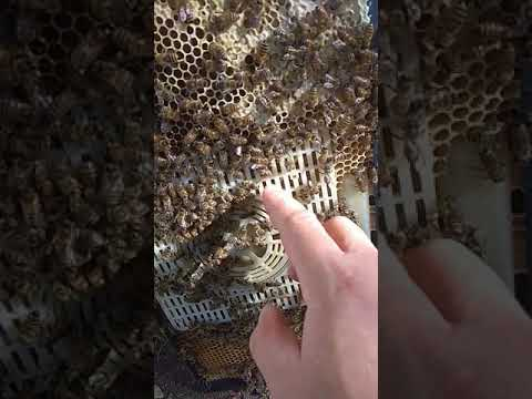 Зимовка пчелиных маток в изоляторе банке маток