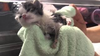 子猫のシダー☆初めてのお風呂☆気持ち良いニャー♪A kitten is the first bath