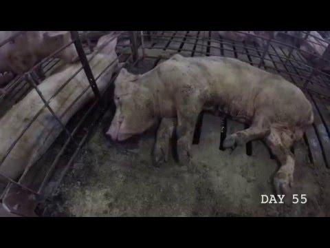 How Bacon is Made (WARNING GRAPHIC Animal Cruelty) PIGS Smart as DOGS ASPCA Pork Kosher Halal Muslim