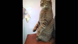 Скотиш-фолд сидит на задних лапках