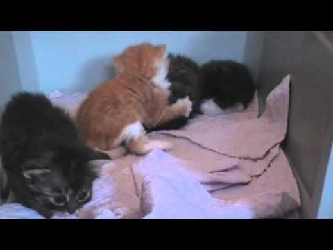 Maine Coon Mix Kitten @ 27 days playing Part 1