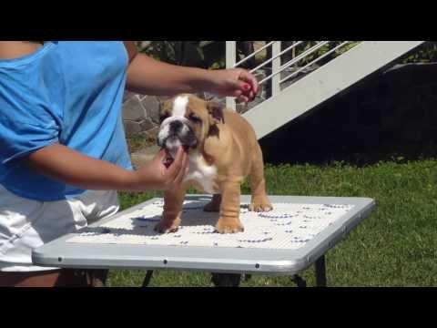 Big Papi Bulldogs- Bigpapibull Red Delight
