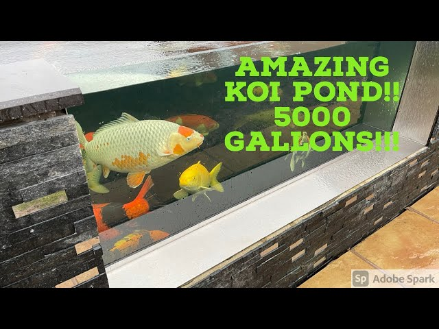 5000 Gallon Koi Pond - A JUMPER!!!