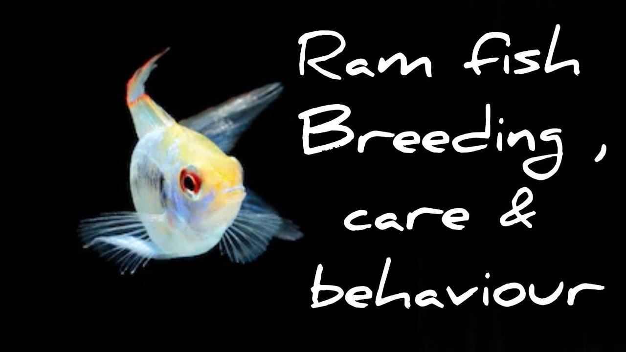 Ram fish breeding care and behaviour