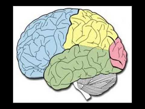 El cerebro y sus partes ( bien explicado)