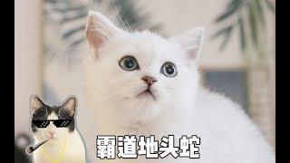 喵星人也有地域歧视!小奶猫被本地哈士奇猫天天欺负,地头蛇太霸道了