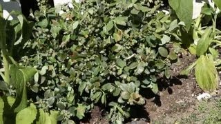 How to Plant Blueberry Bushes in a Perennial Garden : Garden Space