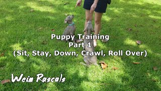Weimaraner Puppies Training  Part 1