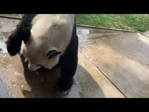 Mei Xiang Showing Signs of Estrus