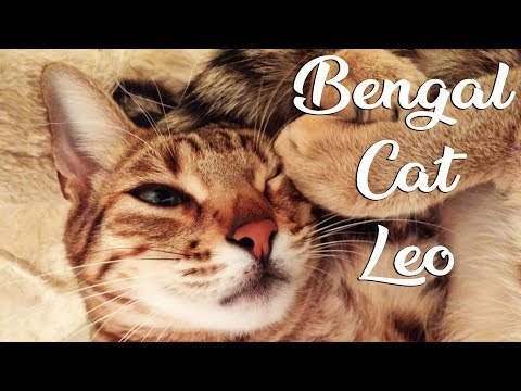 Bengal Cat Sleeping - Satisfying video about bengal cat - Introduction to bengal cat