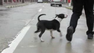 Four Horsemen Bull Terriers