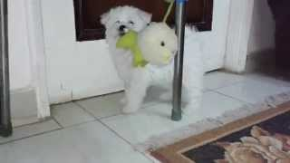 كلب لولو شقى 2