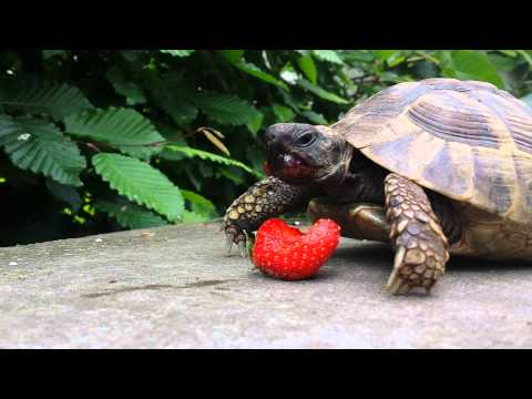10 adorable videos of turtles eating strawberries