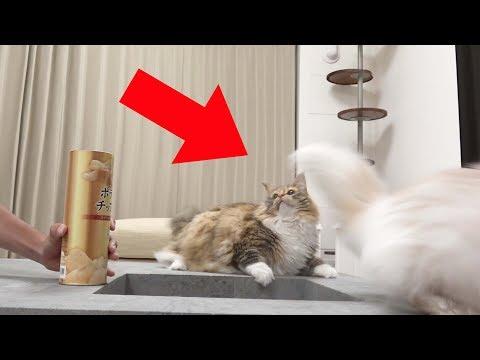 猫にびっくり箱ドッキリしたら反応が過去一だったw