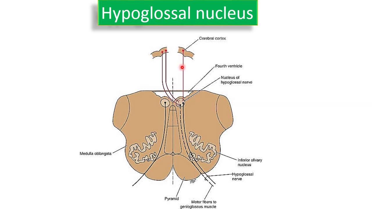 Hypoglossal nerve - YouTube