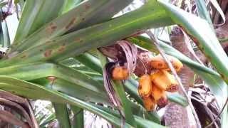 Pandanus - Screw Pine - Screw Palm - Pandan - 斑蘭 - Hd 01