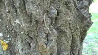 Лесные муравьи за работой. ( Formica rufa )