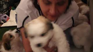 Coton Puppies For Sale - Jolie 8/11/20